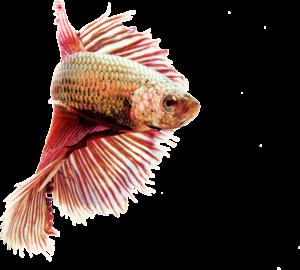 Chovná ryba obrázek